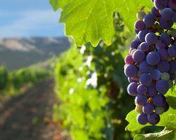 Cave vin passion -  Ceyrat -  Saint-Amant-Tallende - raisin
